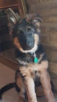 Quante Bully pup Boomer (Lujick)